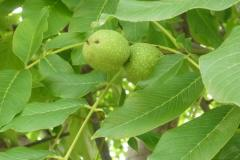 Листья грецкого ореха